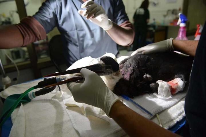 Tersayat Senar Gelasan, Beberapa Burung Terluka