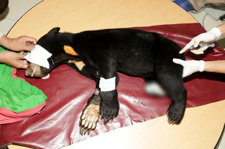 Beruang Madu Korban Jerat Babi Diobati