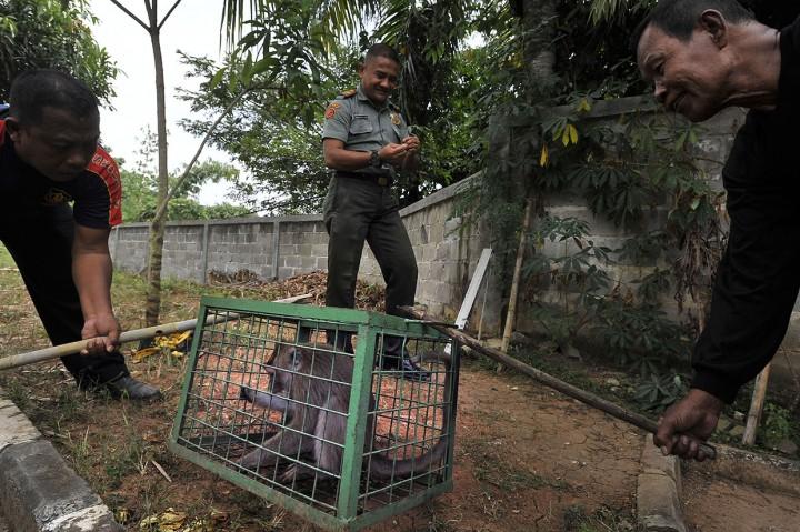 Kesulitan Air, Monyet Liar Serbu Permukiman Warga di Serang