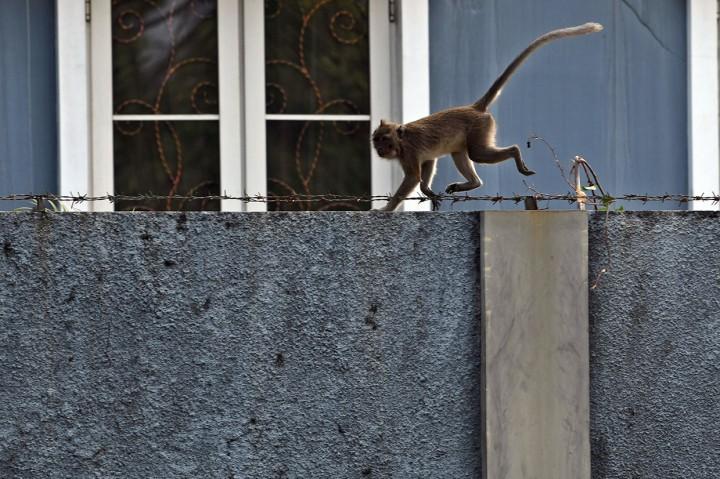 Monyet Muara Angke Masuki Permukiman Warga