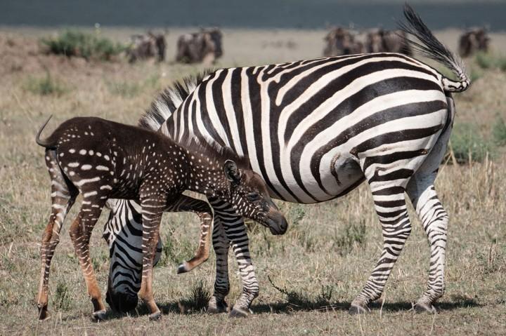 Kejadian Langka, Zebra Tutul Ditemukan di Kenya