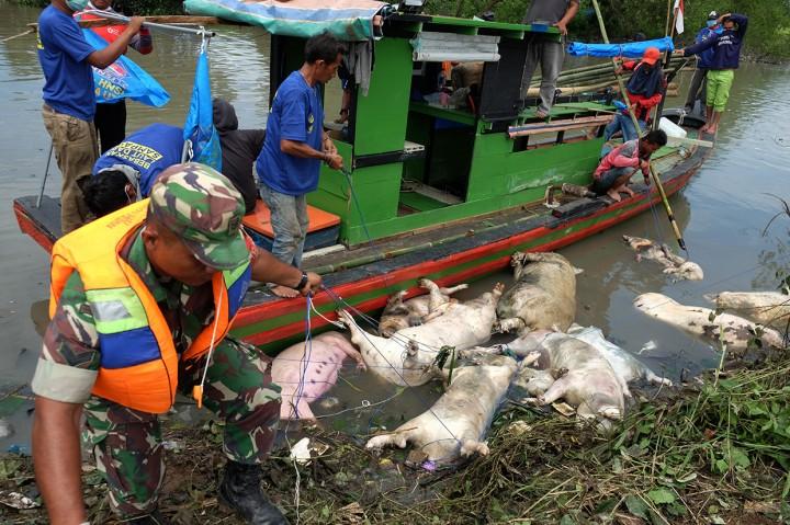 Ribuan Babi di Sumut Mati Akibat Virus Demam Babi Afrika
