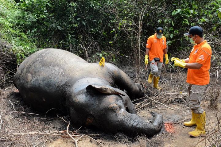 Lagi, Gajah Sumatera Ditemukan Mati