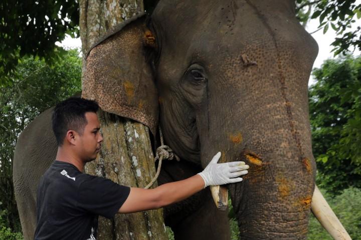 Diserang Kawanan Liar, Gajah Jinak Terluka