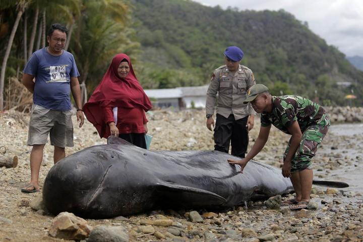 Paus Pilot Terdampar di Pantai Gorontalo
