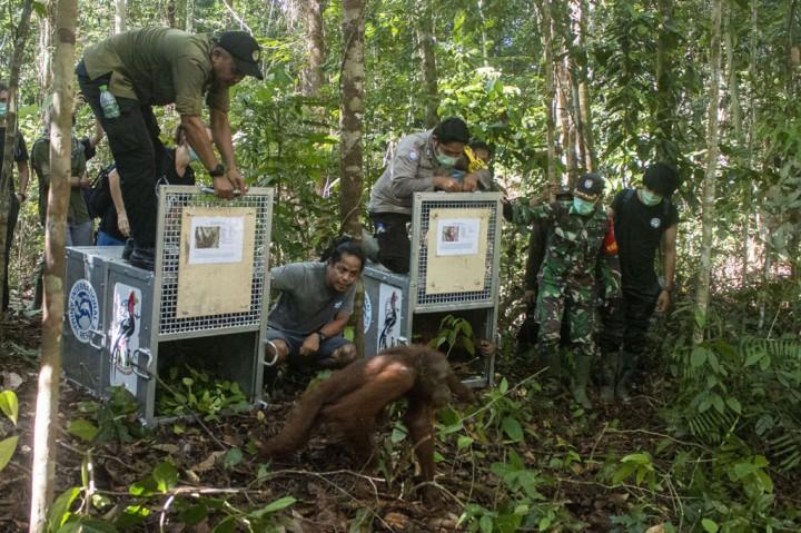Lima Orangutan Dilepasliarkan di TNBBBR
