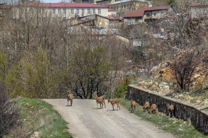 Warga Berdiam di Rumah, Kambing Gunung Turun ke Kota Tunceli