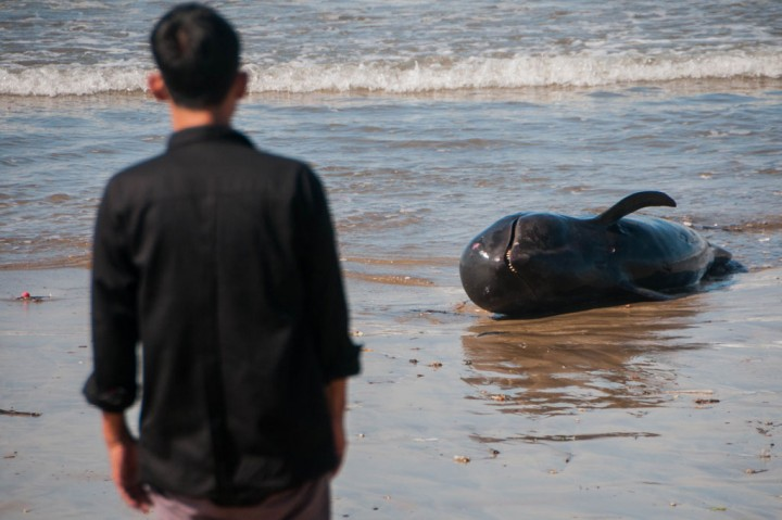 Paus Pilot Mati Terdampar di Lebak