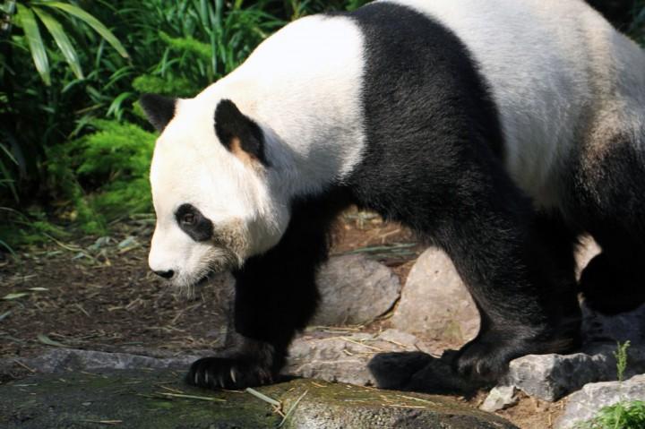 Kesulitan Pakan, Kanada Kembalikan Panda ke Tiongkok
