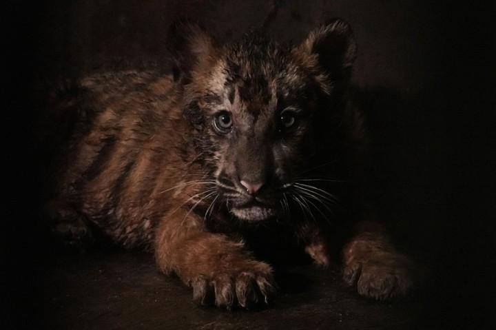 Tingkah Lucu Anak Harimau Benggala di Kebun Binatang Banjarnegara