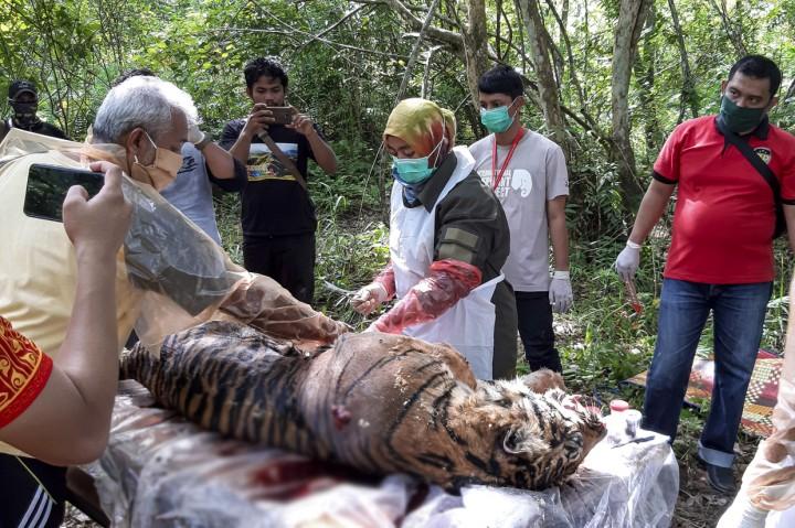BKSDA Selidiki Penyebab Matinya Harimau Sumatera di Aceh Selatan