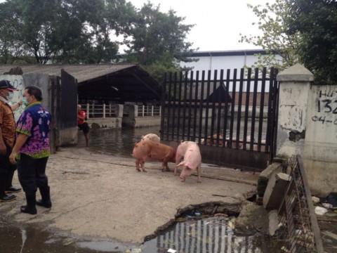 Foto Babi Di Potong Rumah Potong Babi Cengkareng Akan Dipindah