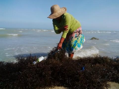 Kemarau, Petani Rumput Laut Merugi