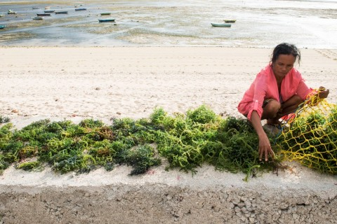 Afsel Berminat Impor Rumput Laut di NTB
