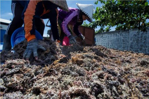 Asosiasi Tolak larangan Ekspor Rumput Laut