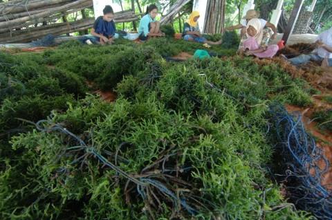 Pemprov Papua Dorong Pengusaha Investasi di Rumput Laut