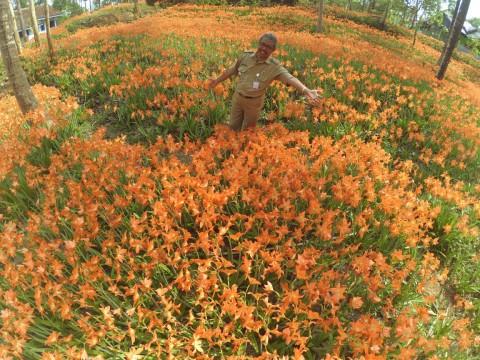 Bunga Amaryllis Bakal jadi Ikon Wisata Gunungkidul