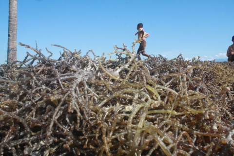 ARLI Tolak Rumput Laut Dikeluarkan dari Daftar Pangan Organik