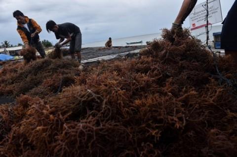 Tingkatkan Energi, PJB Manfaaatkan Rumput Laut sebagai EBT