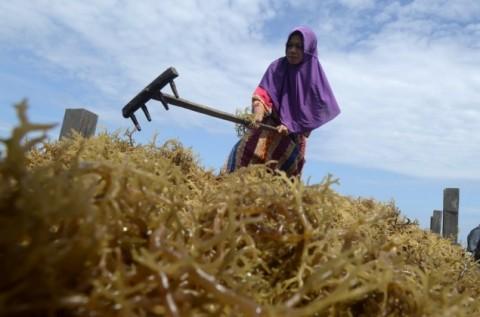 KKP Dorong Industri Rumput Laut di Natuna