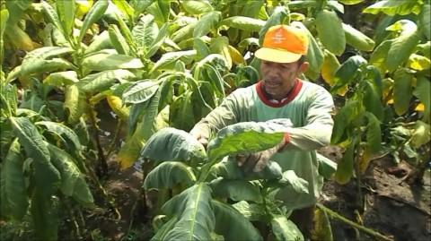 Puluhan Hektare Tembakau di Kendal Gagal Panen