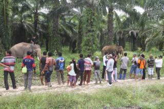 Tiga Gajah Jinak Diturunkan untuk Giring Gajah Liar di Aceh