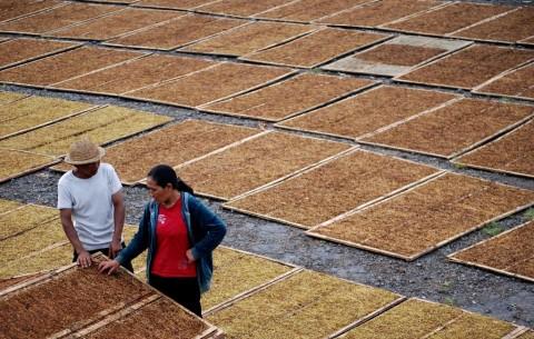 Pemerintah Dukung Sistem IPS untuk Dongkrak Produksi Tembakau