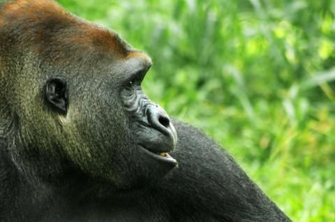 Lepas Dari Kandang, Seekor Gorila Ditembak