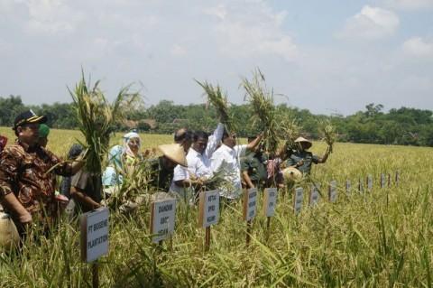 Penanaman Benih Padi Hibrida Untungkan Petani dan Buruh Tani