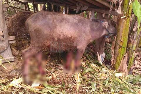 Injak Bom Rakitan, Seekor Kerbau Terluka