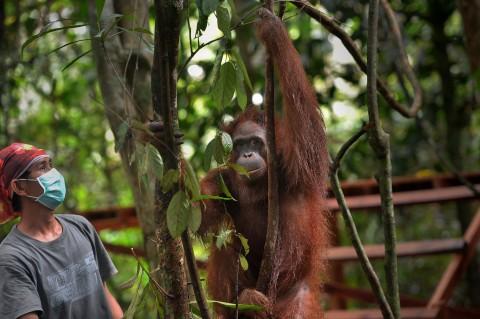12 Orangutan Dilepasliarkan di Pulau Badak Kecil