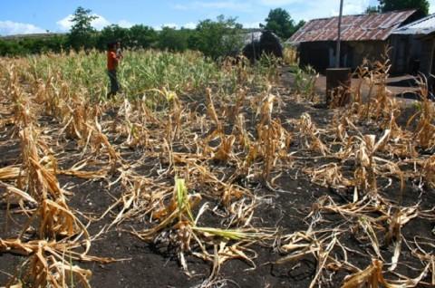 Efek Kemarau, Jagung di Kabupaten Karo tak Berbuah
