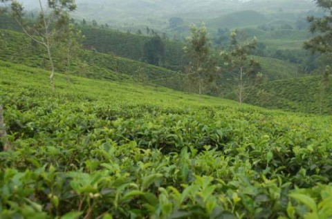 24 Ribu Hektare Kebun Teh di Jabar Rusak