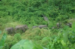 Puluhan Gajah Liar Terjebak lantaran Jalur Jelajah jadi Kebun Sawit