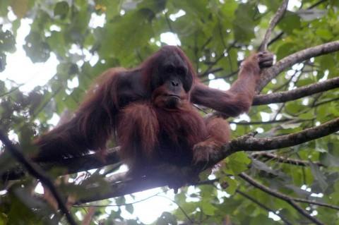 Seekor Orangutan Dilepasliarkan di Taman Nasional Gunung Leuser