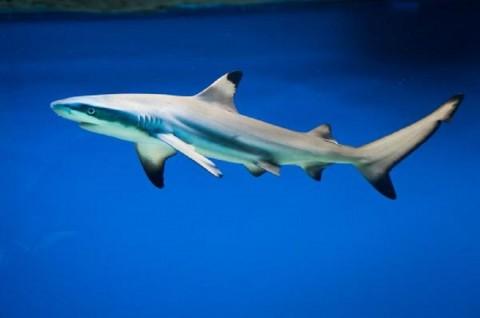 Download 80 Gambar Ikan Hiu HD Gratis