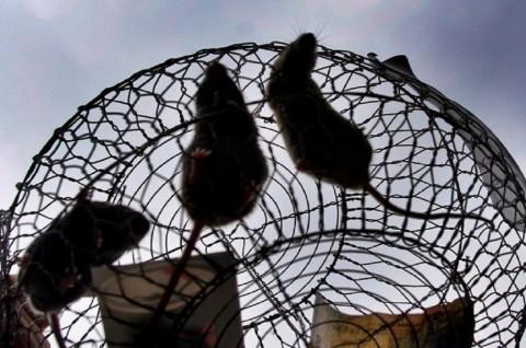 Warga Gunungkidul Diajak Menangkap Tikus
