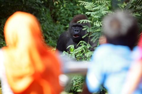 Tiga Gorila di Ragunan Masih <i> Jomblo</i>