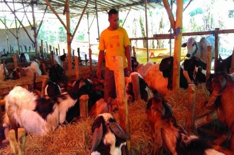 Kaltim Siapkan 142 Ton Daging kambing