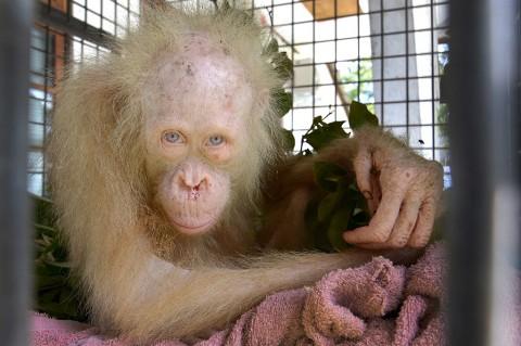 Orangutan Albino di Kalimantan Diberi Nama Alba