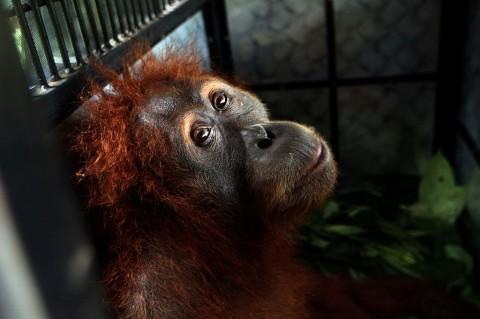 Petugas Evakuasi Dua Orangutan Sumatra