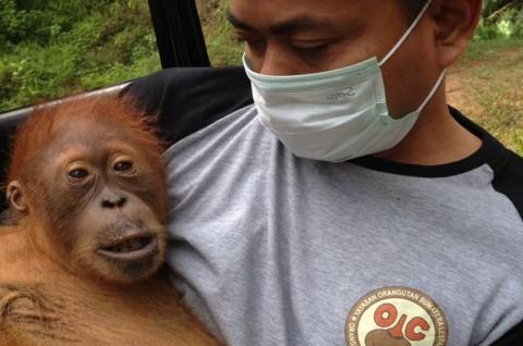 Dua Orangutan Sumatera Dikembalikan ke Habitatnya