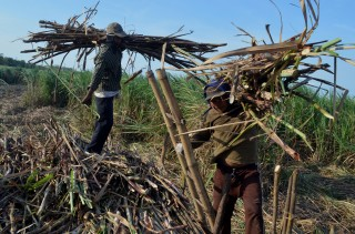 Petani Tebu Indonesia Tolak PPN Gula Petani