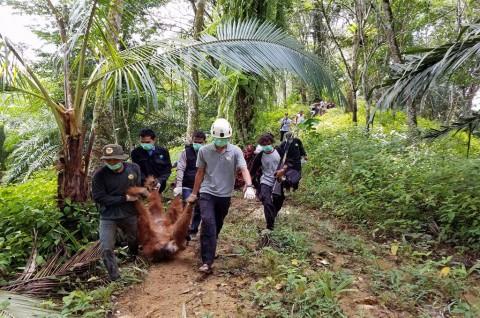 Lima Orangutan Dilepas Liarkan di Hutan Leuser