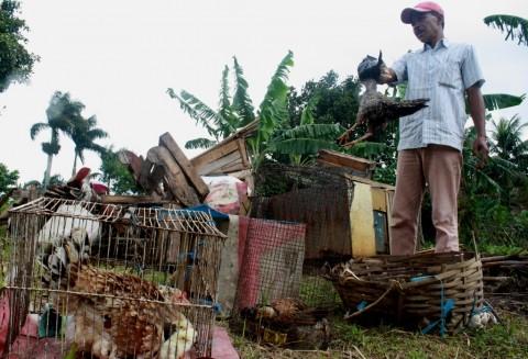 Ayam Mati Mendadak di Tasikmalaya Meluas