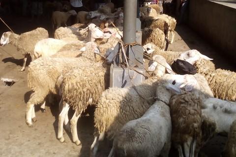 Muslim Singapura Berkurban 1.200 Domba di Kulon Progo