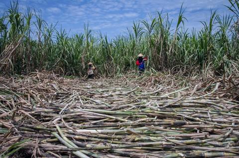 Tingginya Biaya Produksi Merugikan Petani Tebu Pekalongan