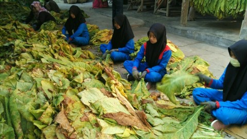 Petani Tembakau di Lombok Raup Pendapatan Rp70 Juta per Tahun