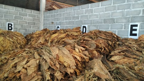 Setelah Bermitra, Penjualan Petani Tembakau Lombok Meningkat