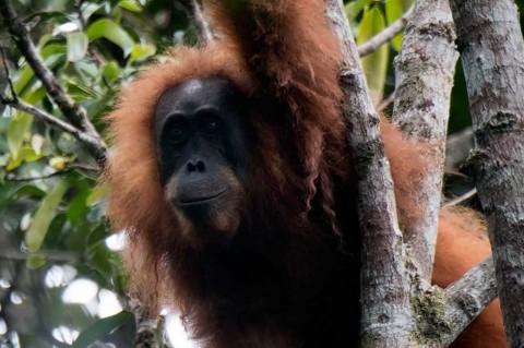 Orangutan Spesies Baru Ditemukan di Tapanuli